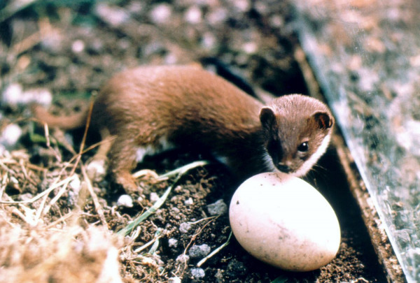 Weasel with egg