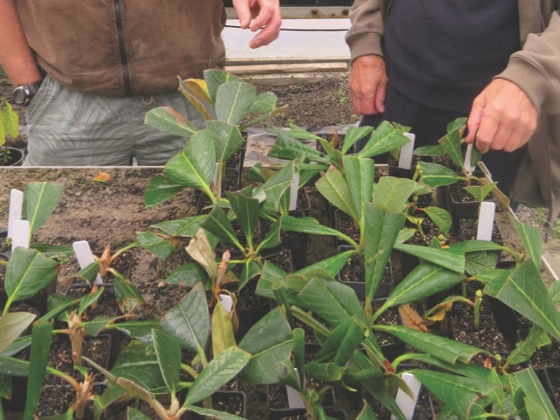 Rhododendron cuttings at Pukeiti.