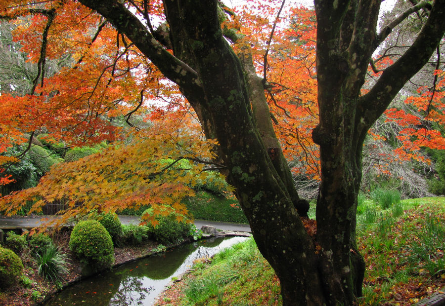 The stunning Maple over the alpha pond at Tūpare